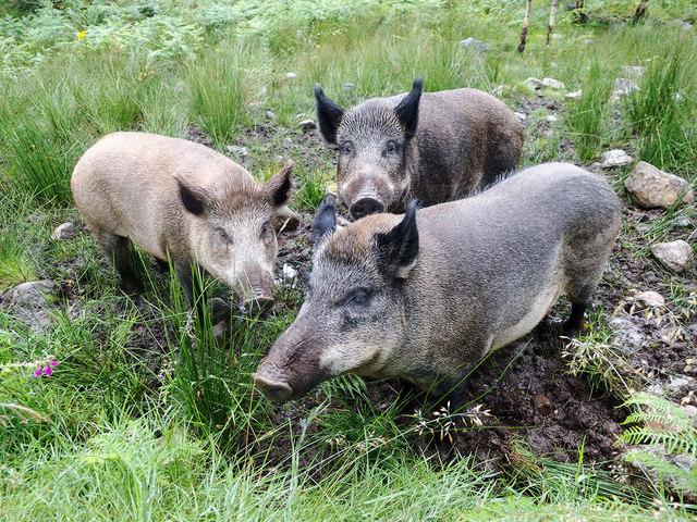 The wild boar at Dundreggan
