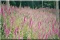 ST2428 : Drifts of Foxgloves by Bob Harvey