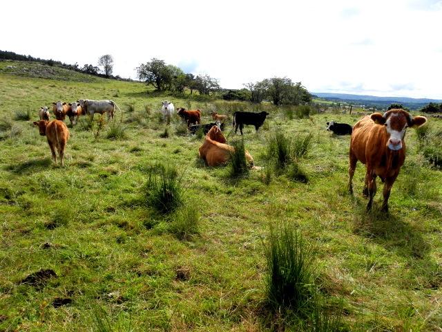 Cattle, Mulnafye