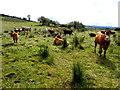 H5477 : Cattle, Mulnafye by Kenneth  Allen