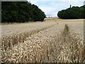 SE3414 : Wheatfield between Garden Plantation and Millcliff Wood by Christine Johnstone