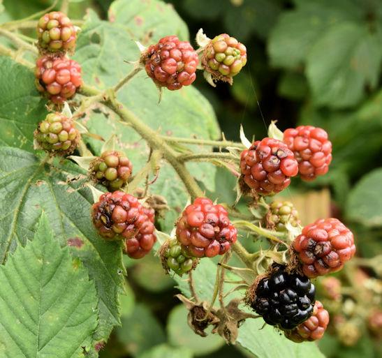 Blackberries, Helen's Bay (September 2015)