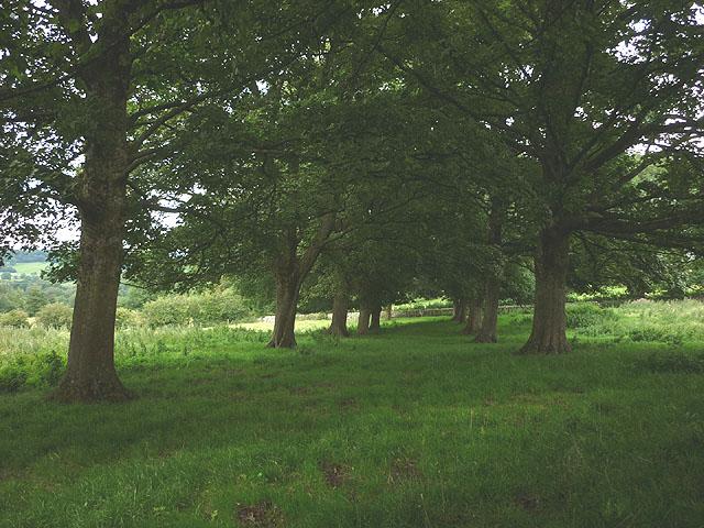 Avenue of trees near Eversley