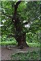 TQ5345 : An old Chestnut tree by N Chadwick