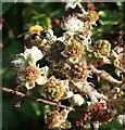 SX9899 : Bee on blackberries, Budlake by Derek Harper