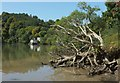 SX8357 : Dead tree, Sharpham Reach by Derek Harper