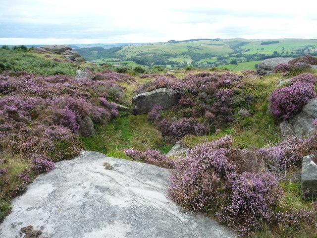 Flowering heather, Froggatt Edge