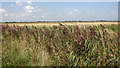 TG3914 : Reeds growing beside a drainage ditch, Upton Marshes by Evelyn Simak