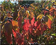SX9066 : Autumn colour, Browns Bridge Road, Torquay by Derek Harper