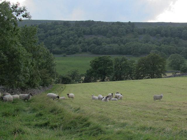 Sheep at Hawkswick Head