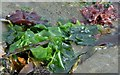 J4482 : Seaweed, Helen's Bay - September 2015(3) by Albert Bridge