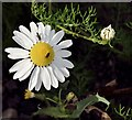 J4482 : Mayweed, Helen's Bay (September 2015) by Albert Bridge