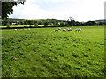 SJ1166 : Grazing fields near Llangwyfan by Maggie Cox