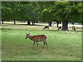 TQ2173 : Deer in Richmond Park by Chris Holifield