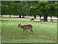 TQ2173 : Deer in Richmond Park by Chris Holifield