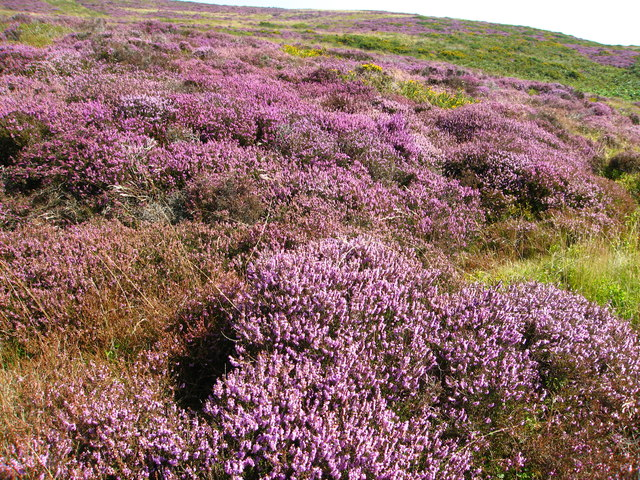 Glorious heather clad hillside