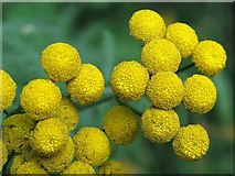 NZ1465 : Tansy (Tanacetum vulgare) - detail by Andrew Curtis
