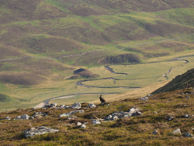 Mountain hare on Carn Mor