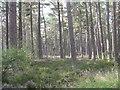 NH8097 : Pines at Loch Fleet NNR by M J Richardson