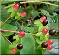 J4581 : Tutsan berries, Helen's Bay - September 2015(2) by Albert Bridge