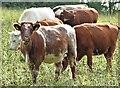 J4581 : Cattle, Helen's Bay - September 2015(2) by Albert Bridge