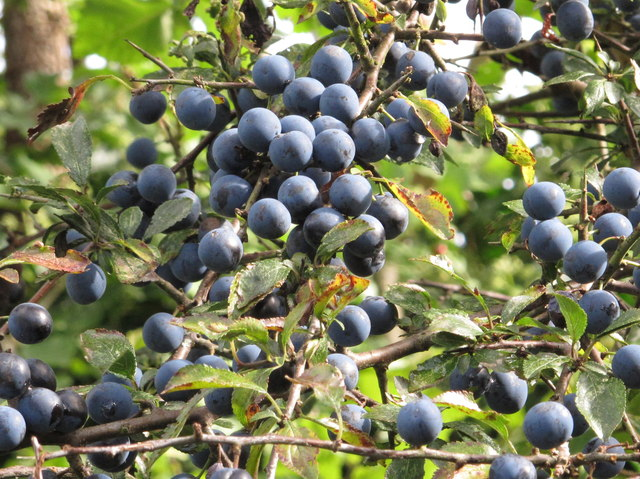 Sloes in hedge by canal towpath, Southall