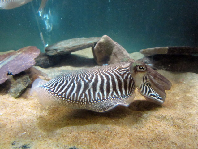 Common Cuttlefish at Anglesey Sea Zoo