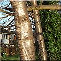 SP2965 : Shining bark of wild cherry, Prunus avium. riverside open space, Warwick by Robin Stott