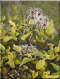 TQ1350 : By the Pilgrims' Way in late September: Clematis vitalba by Stefan Czapski