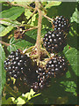 SD4391 : 2015 - a great year for blackberries by Karl and Ali