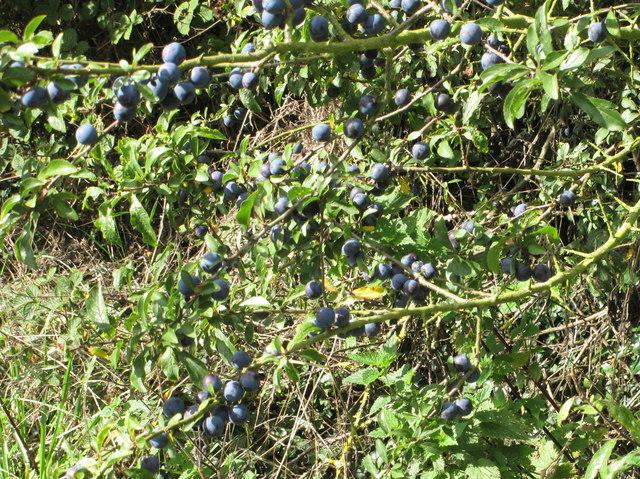 Sloes by the Ridgeway