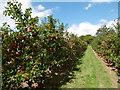 TQ8248 : Apple orchard at East Sutton by Marathon