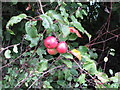 SU7599 : Crab apples by the Ridgeway by David Hawgood