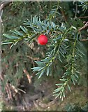 TQ1450 : By the Pilgrims' Way in late September: yew by Stefan Czapski