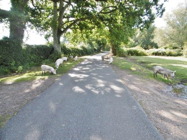 Cadnam Common, pannage pigs