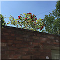 SP3165 : A stunning old rose looks over a garden wall, private road, Royal Leamington Spa by Robin Stott