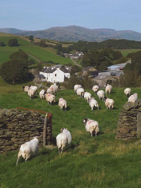 Sheep entering a field near Crook Hall