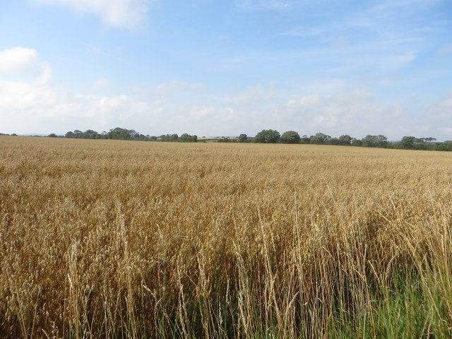 A crop of oats north of Togston