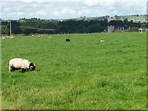 NY5027 : Sheep grazing above the River Eamont by Christine Johnstone