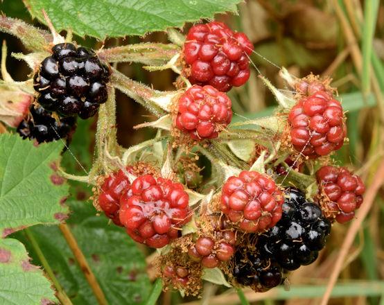 Blackberries, Comber Greenway - October 2015(2)