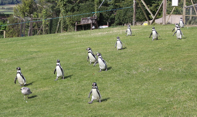 March of the Penguins at the Welsh Mountain Zoo
