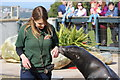 SH8378 : Sea Lion and Keeper at the Welsh Mountain Zoo by Jeff Buck