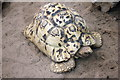 SH8378 : Leopard Tortoise at the Welsh Highland Zoo by Jeff Buck
