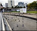 SJ8498 : Pigeons at Piccadilly Gardens by Gerald England