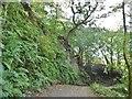 SJ9665 : Danebridge, oak tree by Mike Faherty
