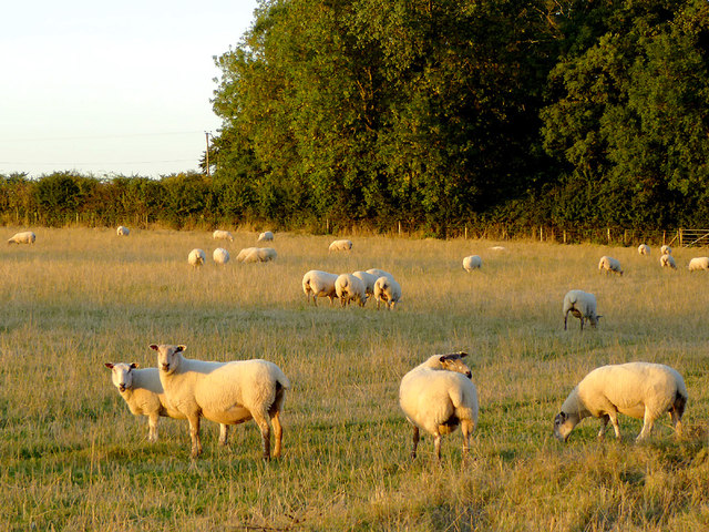 Sheep grazing north-east of Wheaton Aston, Staffordshire