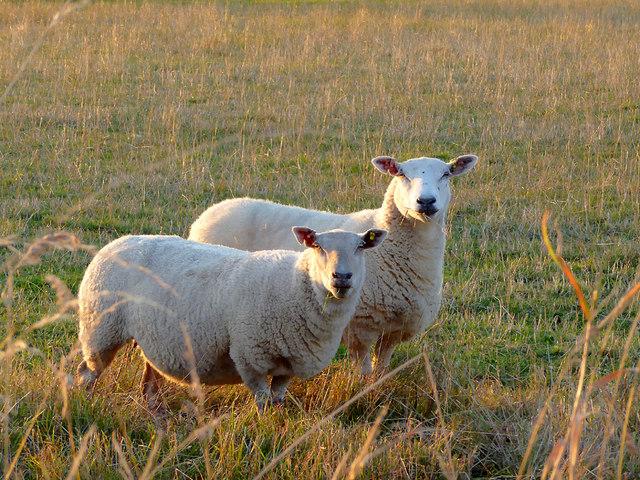 Sheep north-east of Wheaton Aston, Staffordshire