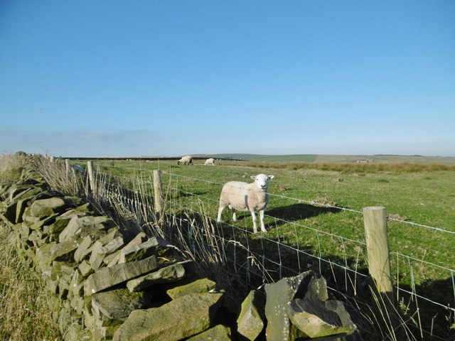 Onecote, sheep grazing