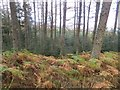 NT4128 : Bowhill woodlands by Richard Webb