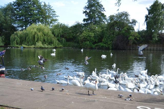 Swans on the River Nene